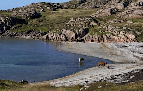 Highland Cows on Fionnphort Beacj